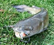Bank Fishing for Channel Catfish