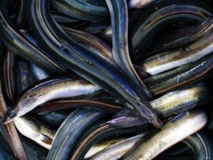 Eels are like Striped Bass Candy, Great for Bait