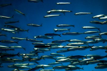 Bait Ball for Striped Bass, Stripers Love To Eat Live Swimming Bait Fish