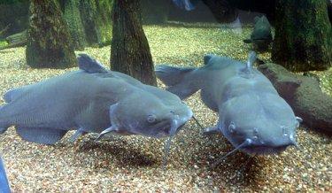 Underwater observation of channel catfish.