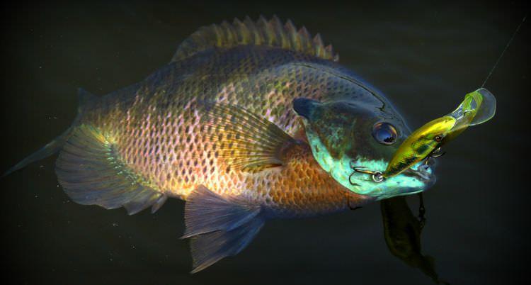 Bluegill fishing tips for beginner and expert anglers for Blue gill fishing