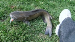Channel Catfish compared to a shoe