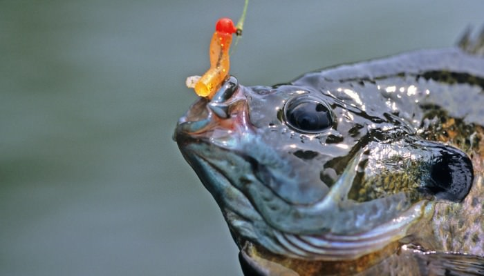 Hooked bluegill closeup with plastic worm