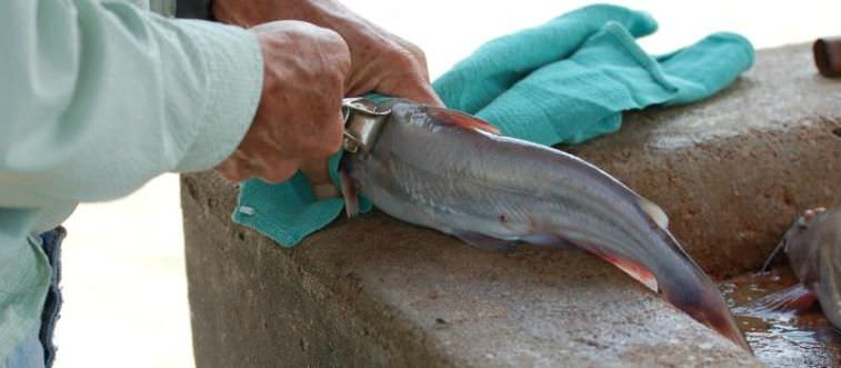 Skinning is one way of cleaning catfish.