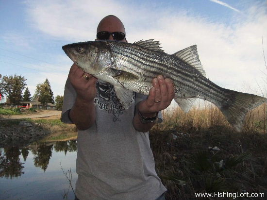 Calaveras River Striped Bass Stockton California