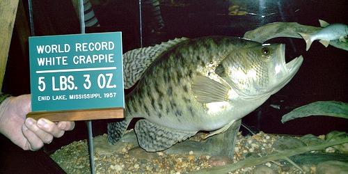Replica Fish Mount of the All-Tackle World Record White Crappie