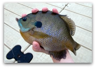 Catching Big Fat Bluegill while Freshwater Fly Fishing