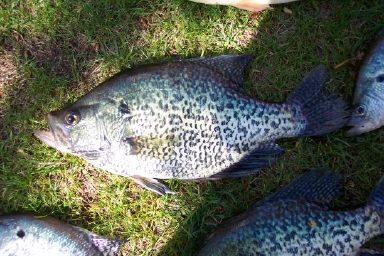 A Few Slabs Of Crappie