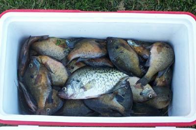 Cooler Full Of Panfish