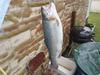 Dunlap Lake Rainbow Trout