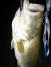 One of the three largemouth bass