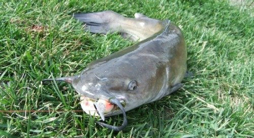 Catching catfish on crankbaits fishing with artificial lures for How to fish for catfish in a lake