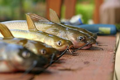 Catfish lined up on table.