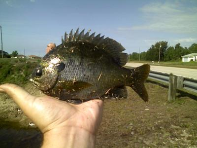 1 pound Bluegill (Couldn't get my Red Ear Sunfish picture to upload)
